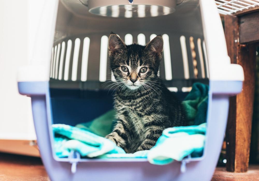 kitten in a carrier